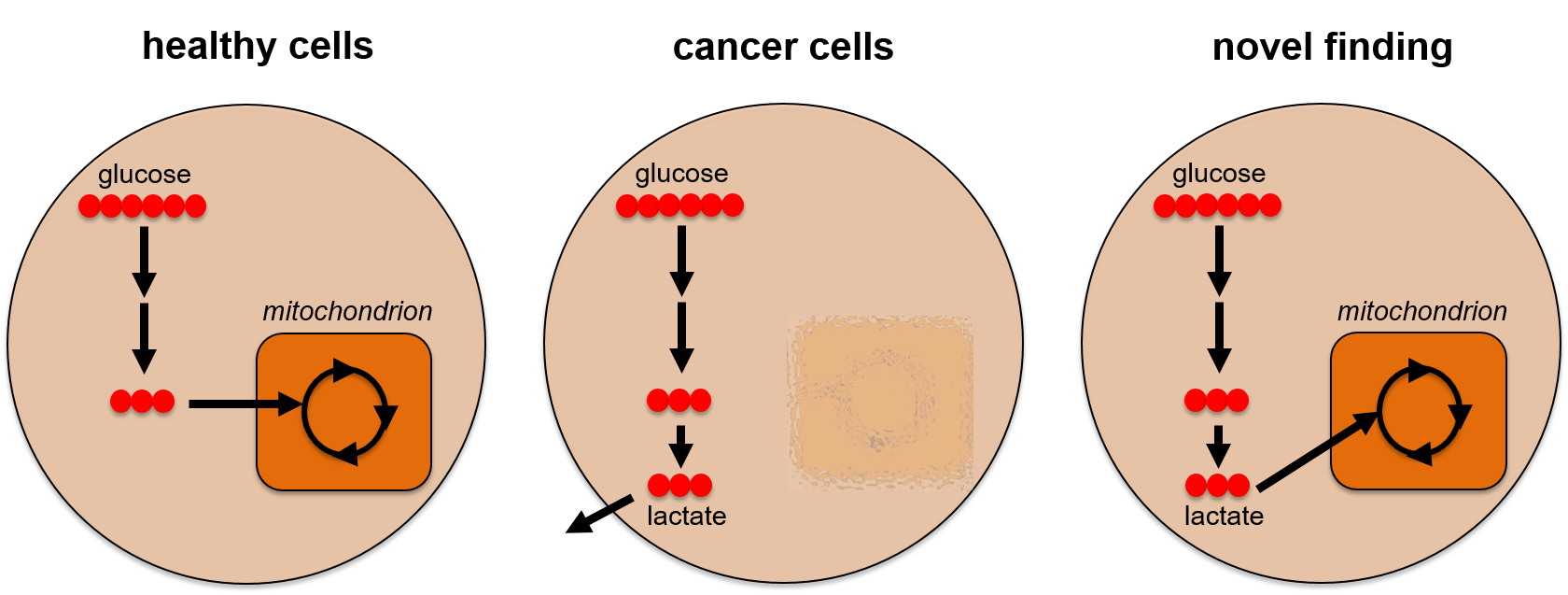 Glucose is metabolized to lactate in most cancer cells
