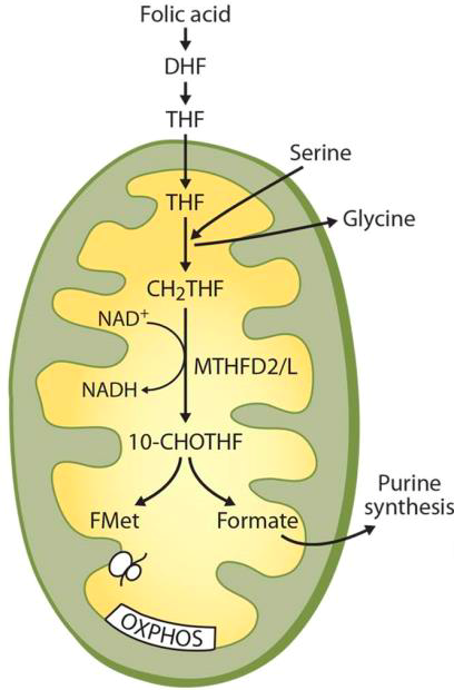 Schematic overview of mitochondrial 1C-cycle